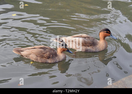 A pair of Philippine Ducks (Anas luzonica) swimming in a small lake in Southern England - Stock Image
