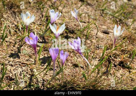 Crocus flowers (Crocus vernus) Seiser Alm, / Alpe di Siusi - Stock Image