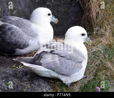 A pair of fulmars (Fulmarus glacialis) at their nest on basalt sea cliffs. Carrick-a-Rede, Ballycastle, Antrim, Northern Ireland. - Stock Image