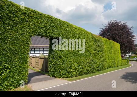 Deutschland, NRW, Städteregion Aachen, Eifel, Monschauer Heckenland, Monschau-Konzen, übergrosse Buchenhecke - Stock Image