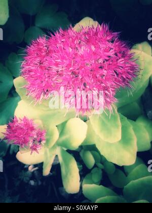 Pink flowers sedum plant - Stock Image
