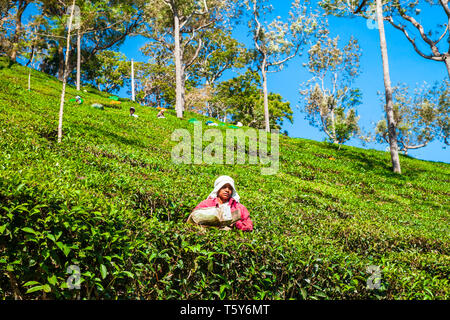 MUNNAR, INDIA - MARCH 16, 2012: Unidentified woman picking tea leaves at the tea plantation in Munnar in India - Stock Image