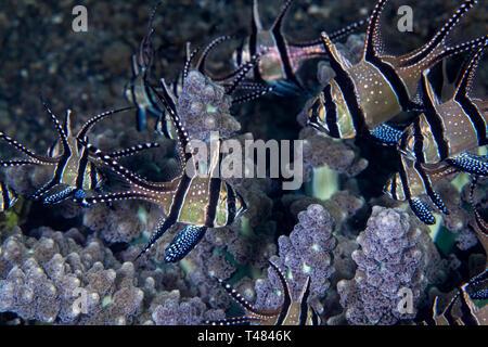 Banggai cardinalfish (Pterapogon kauderni) associated with branching anemone [Actinodendron glomeratum]. Lembeh Straits, Indonesia. - Stock Image