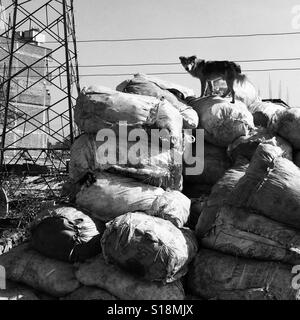 Dog on a pile of rubbish - Stock Image