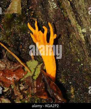 Small Yellow Stagshorn (Calocera viscosa) fungi grow from a rotting tree trunk in damp mixed woodland. Brownsea - Stock Image