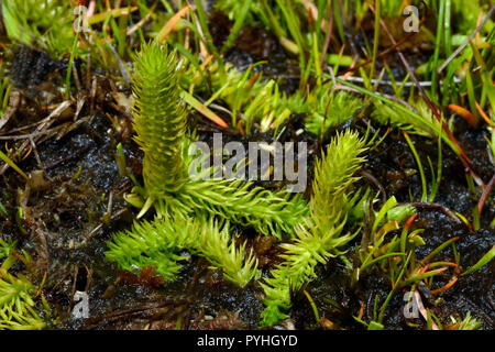 Lycopodiella inundata (marsh club moss) is a club moss with circumpolar and circumboreal distribution. It grows in wet habitat including wet tundra. - Stock Image