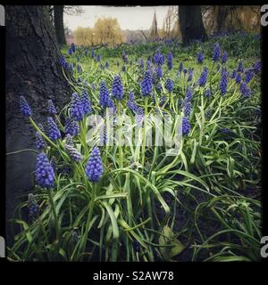 Grape Hyacinth, also known as Muscari. - Stock Image