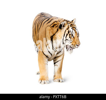 tiger isolated on white background, The Indochinese tiger is a tiger subspecies occurring in Myanmar, Thailand, Lao, Viet Nam. It is listed as Endanger - Stock Image