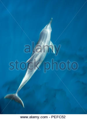 A bottlenose dolphin bow riding. - Stock Image