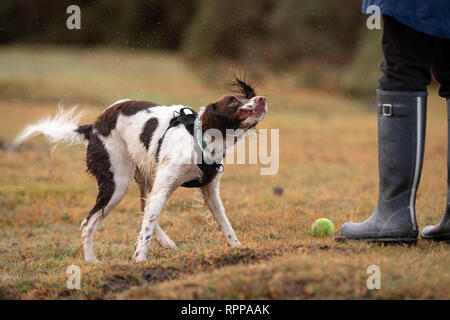 A young English Springer ( 11 months) spaniel shakes the water off after retrieving a tennis ball and dropping it the owners feet to be thrown again. - Stock Image