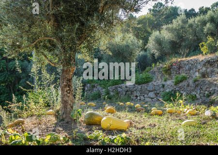 Pumpkin Patch under an olive tree in Autumn, Portugal - Stock Image