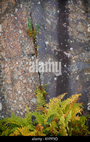 Roadside ferns in Acadia National Park in Maine - Stock Image
