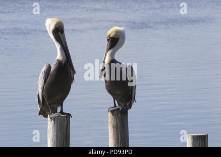 Expressive stare down between two brown pelicans on wood pilings along Laguna Madre Bay of South Padre Island in Texas; horizontal image with copy spa - Stock Image