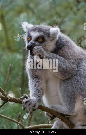 Ring-tailed lemur or Lemur catta eating while in a tree. - Stock Image