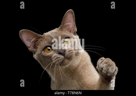 Cute Portrait of Playful Cat Raising up paw, isolated on black background, front view - Stock Image