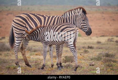 Mother and juvenile  Burchell's zebra (Equus quagga burchellii) together.  Baby is feeding off mom. Full body capture - Stock Image