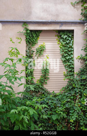 Green creeper plant covering cracked stucco wall - Stock Image