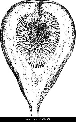 . The natural history of plants. Botany. Pig. 124. Foliaceoua and floriferoua branch (J). Fig. 125. Long. sect, of female flower (f). Fig. 126. Long. sect, of compound fruit. With a receptacle in form of a sac, like that of Lanessania and the neighbouring genera, the Figs (Ficus) have given their name to a distinct group (Ficece), because this receptacular pouch, with orifice generally very narrow, and surrounded by a small involucre, encloses female flowers in great number instead of a single one, with or without male flowers above them. All are likewise disposed in glomerules on the interior - Stock Image