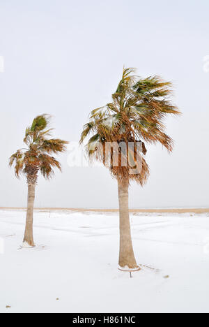 palm trees on the beach in january - Stock Image
