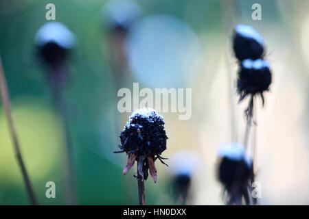 a cold winter's morning, ice on dead flower heads Jane Ann Butler Photography  JABP1818 - Stock Image