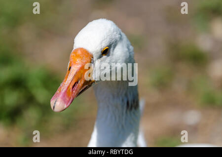 Close up of the head of a goose with black patches on the neck - Stock Image