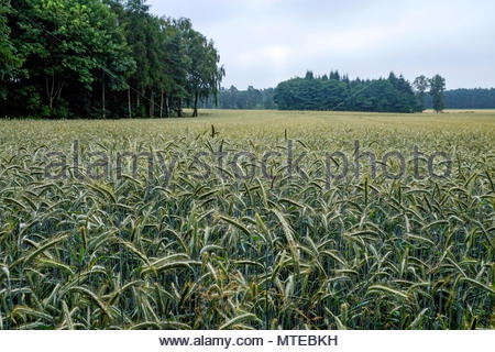 A wheat field in the northern German state of Niedersachsen - Stock Image