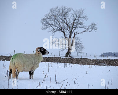 Crosby Ravensworth, Eden Valley, Cumbria, UK. 18th January, 2018. lone sheep struggles to find grazing beneath a - Stock Image