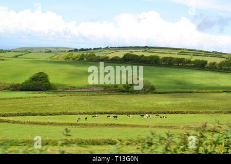Cows grazing on the Devon landscape near Arlington, Devon, UK - Stock Image