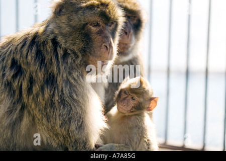 Gibraltar Ape with young sitting together - Stock Image