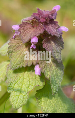 Close-up of red dead-nettle plant (Lamium purpureum), a wildflower in UK during Spring - Stock Image