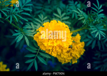 Decorative one-year-old flower of yellow color with dark green oblong leaves - Stock Image