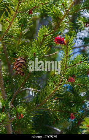 Douglas Fir tree (Pseudotsuga menziesii) in close up showing mature pine cone & very young cones (yellow) & new growth (red), Castle Rock Colorado US. - Stock Image