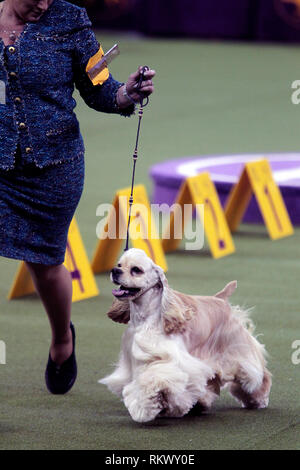 New York, USA. 12th Feb 2019. Westminster Dog Show - New York City, 12 February, 2019:  Charlie, an Ascob Cocker Spaniel with his handler during judging of the Sporting Group at the 143rd Annual Westminster Dog Show, Tuesday evening at Madison Square Garden in New York City. Credit: Adam Stoltman/Alamy Live News - Stock Image