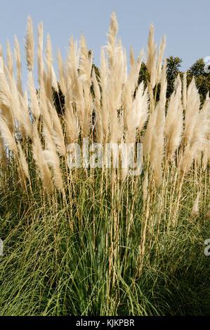 pampas grass grasses Cortaderia selloana - Stock Image
