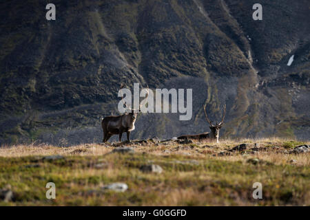 Reindeer against mountain landscape, Kungsleden trail, Lapland, Sweden - Stock Image