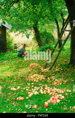 Young woman at country house collecting fallen apples with pet tabby cat in Sweden in the autumn - Stock Image