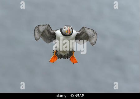 Atlantic puffin (Fratercula arctica) summer adult in flight. Isle of Lunga, Treshnish Isles, Scotland. June. - Stock Image