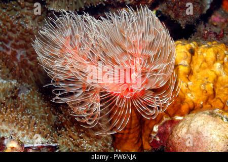 Magnificent Tube Worm, Protula bispiralis, previously Protula magnifica.Tulamben, Bali, Indonesia. Bali Sea, Indian Ocean - Stock Image
