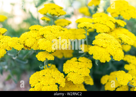 Closeup of yellow flowers of achillea moonshine yarrow plant with bokeh background - Stock Image