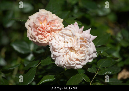 Rose Joie de Vivre growing in  garden on a summer day Cheshire England - Stock Image