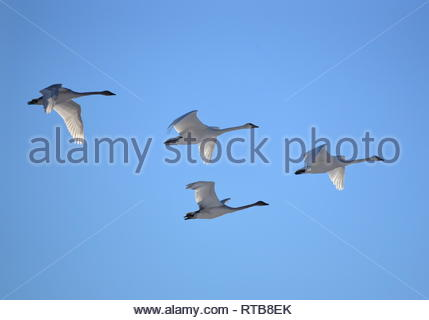 Trumpeter swans in formation at Seedskadee National Wildlife Refuge in Sweetwater County, Wyoming. - Stock Image