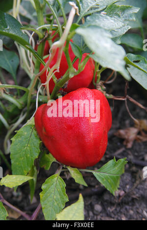 Capsicum annuum pepper close up of ripe fruit - Stock Image
