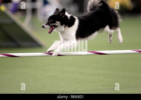 New York, USA. 9th Feb 2019. Loa, an Icelandic Sheepdog, competing in the preliminaries of the Westminster Kennel Club's Master's Agility Championship. Credit: Adam Stoltman/Alamy Live News - Stock Image