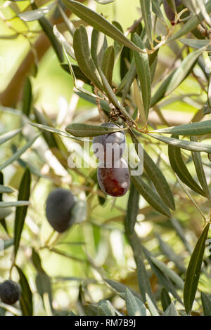 Olive tree with big ripe black olives ready for harvest close up - Stock Image