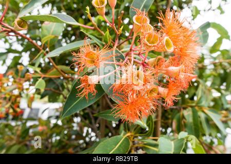 Flowers and leaves of the Australian Red Ironbark tree, Eucalyptus Sideroxylon rosea. - Stock Image