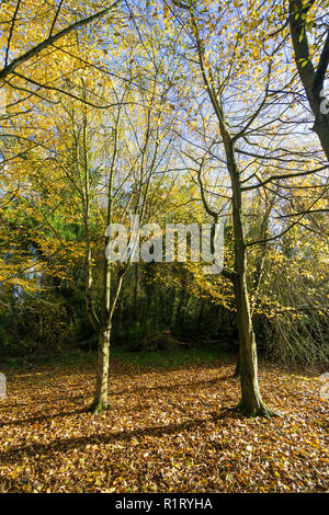 Two trees in clearing autumn leaves on ground Milton park Cambridge UK - Stock Image