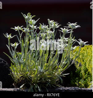 botany, edelweiss (Leontopodium alpinum), Additional-Rights-Clearance-Info-Not-Available - Stock Image