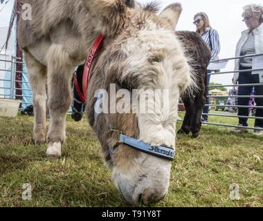 Exeter, Devon, UK. 16th May 2019 Donkeys from the Sidmouth Donkey Santuary on show on the first day of the Devon County Show, at the Westpoint Showground, Exeter Credit: Photo Central/Alamy Live News - Stock Image