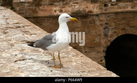The European herring gull (Larus argentatus) waiting for fishermen in Essaouira, Morocco - Stock Image