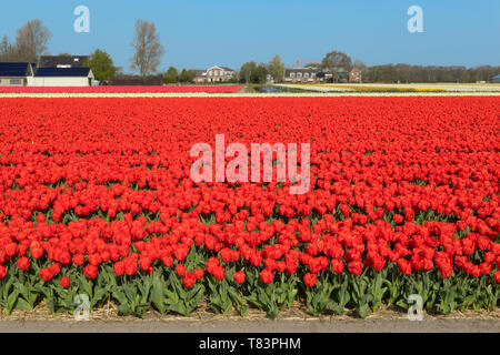 Lisse, Holland - April 18, 2019: Traditional Dutch tulip field with rows of red flowers and houses in the background - Stock Image